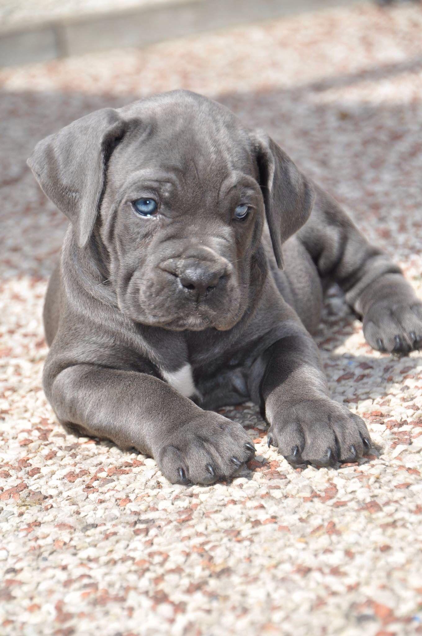 Bioynic S Blue Magic Gaia 7 Weeks Corso Dog Cane Corso Mastiff Puppies