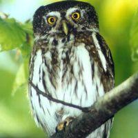 Eurasian Pygmy Owl Image 7