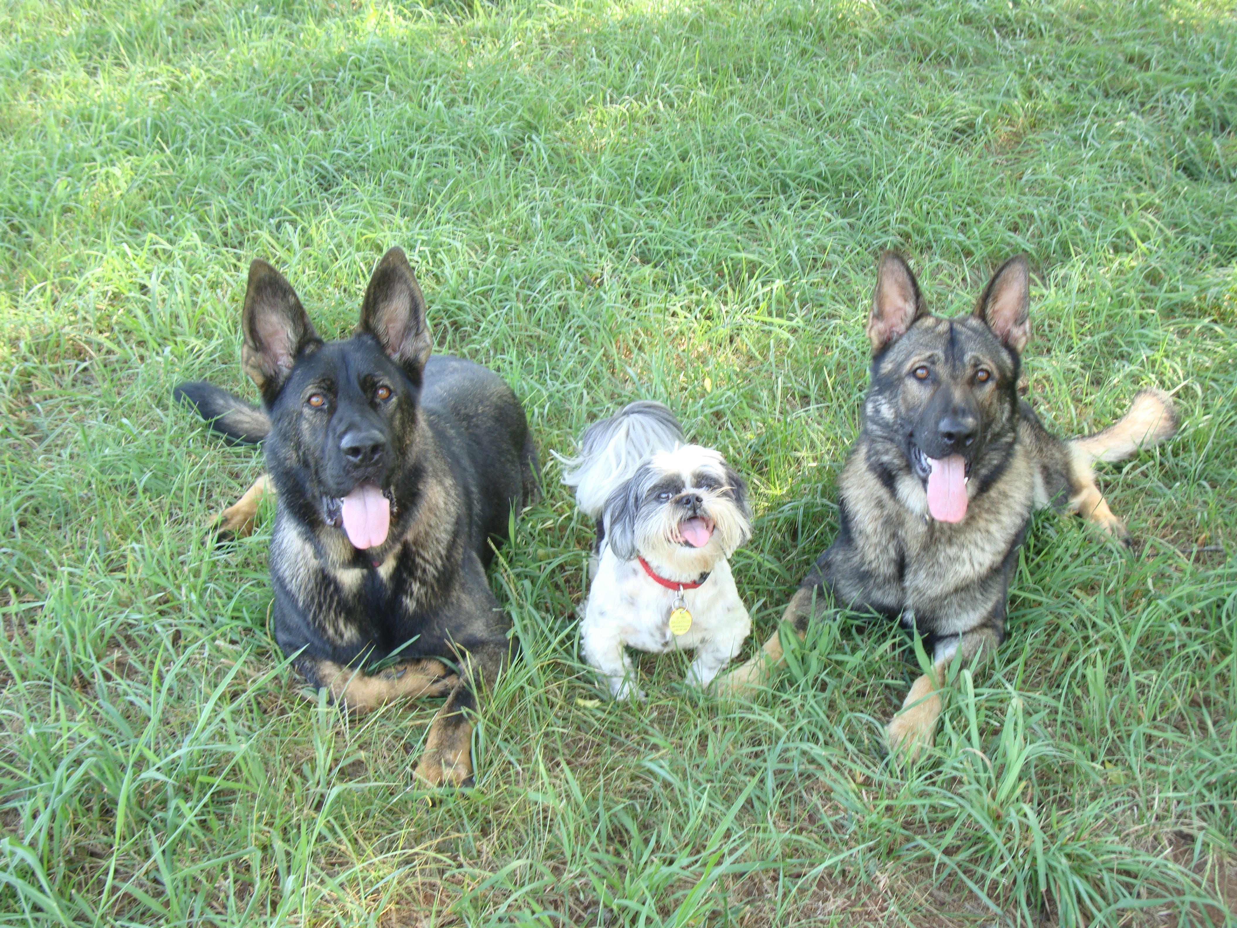 German Shepherds And Shih Tzu The Three Musketeers German