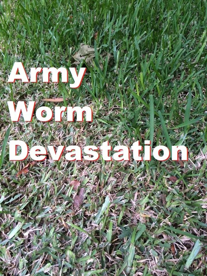 Army Worms In Lawn A Customer S Lawn At Panania Nsw Army Grub Control Lawn Grub Control Army Lawn Problems Lawn