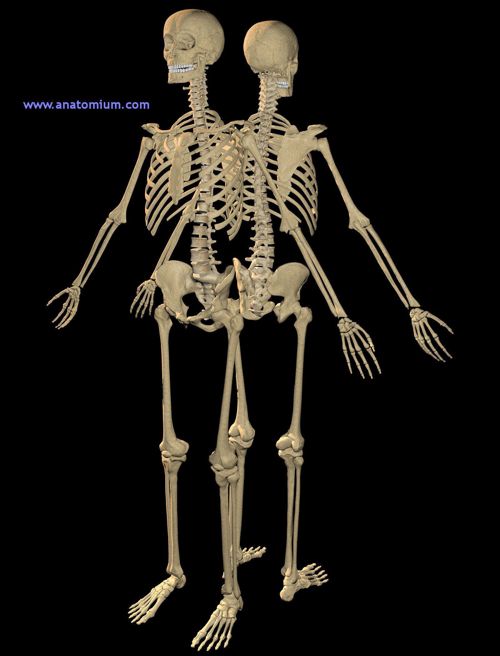 Human Skeleton Human Skeleton 3d Art Pinterest Human