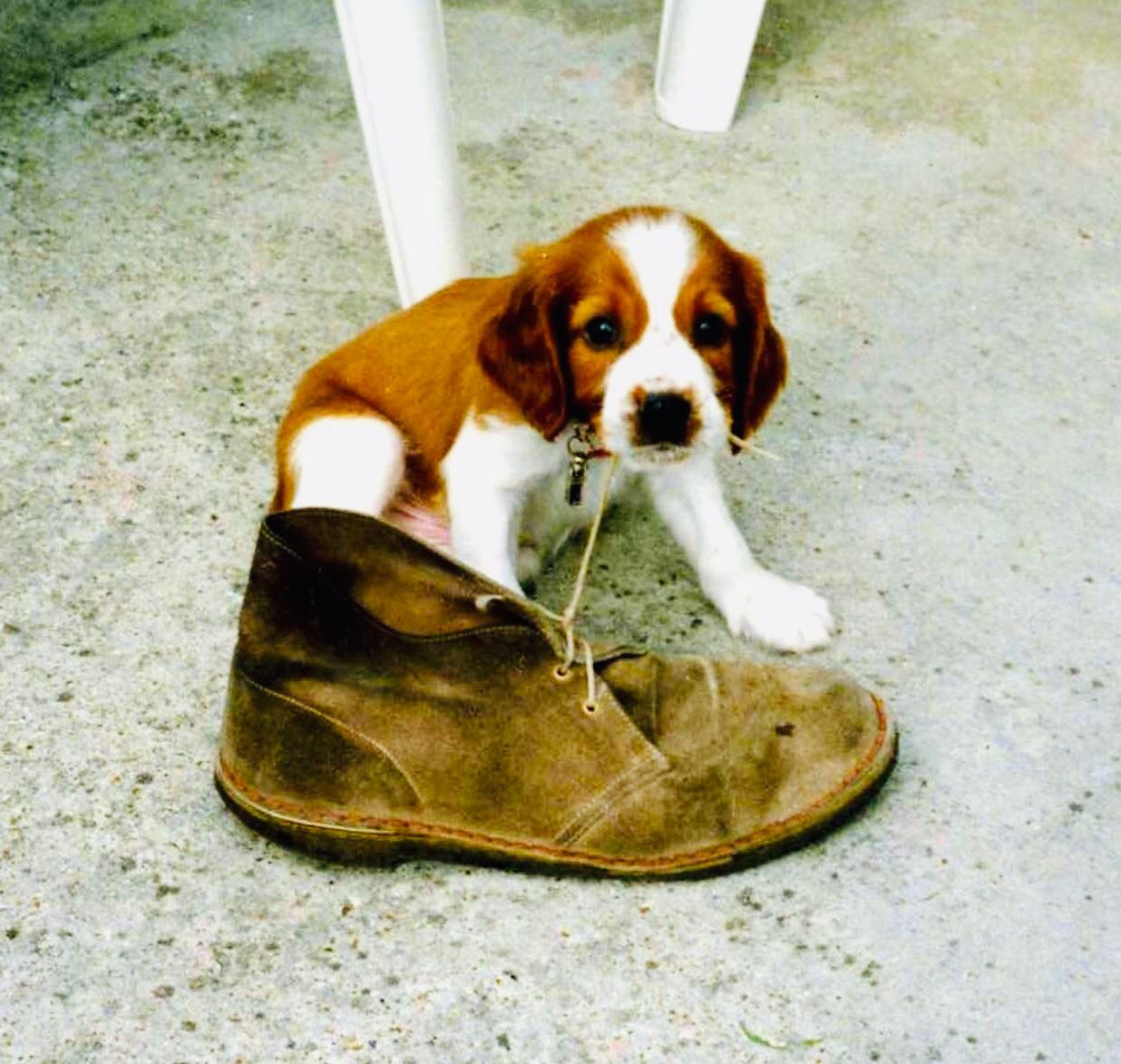 This 12 weeks old puppy chews a boot lace thinking it's a
