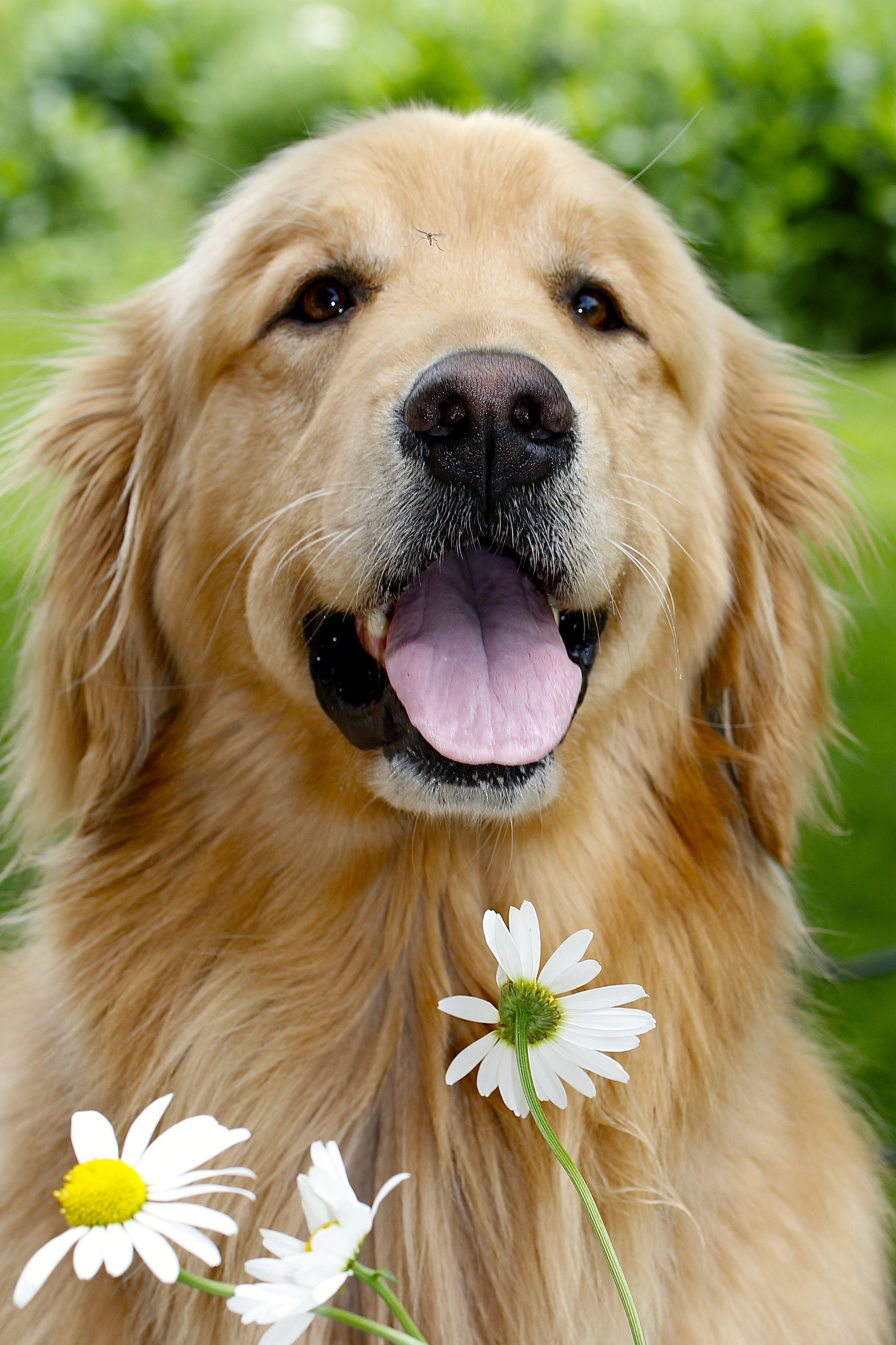 Cool Puppy Dog Com Retriever Puppy Golden Retriever Golden