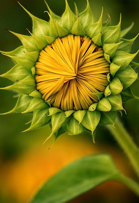 Peek A Boo Sunflower By Carolyn Derstine Sunflower Amazing Flowers Flower Beauty