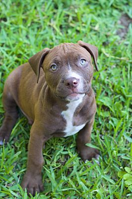 College Station, TX Pit Bull Terrier. Meet Dogwood