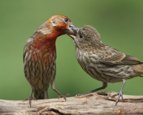 Male House Finch Feeding Fledgling - Male House Finch Feeding Fledgling Animals!(: Pinterest Birds