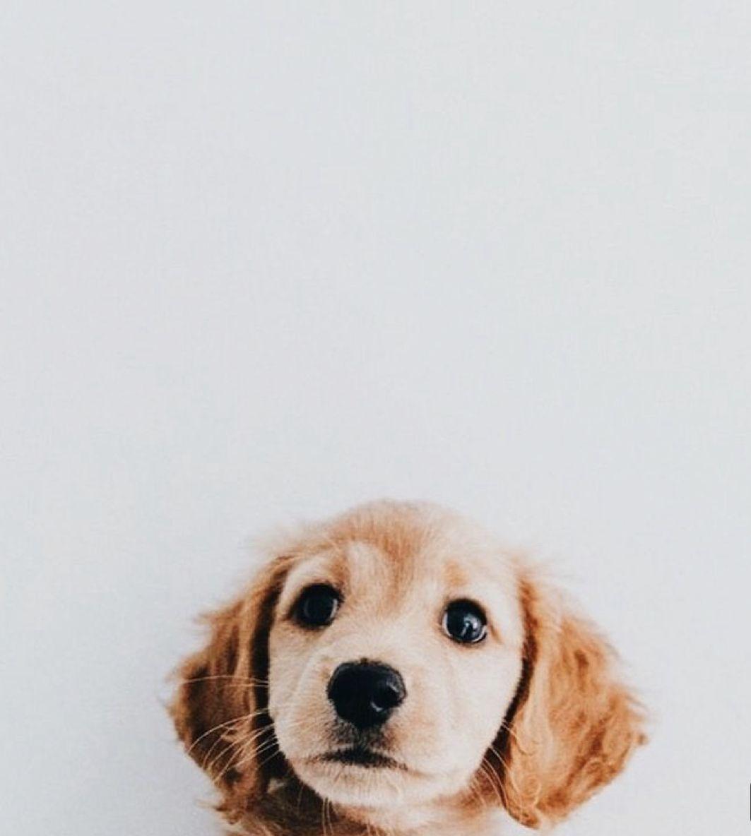 Cutedogs Puppy Puppies Puppywallpaper Cutepuppy Wallpaper Cute Cute Animals Puppies Cute Creatures