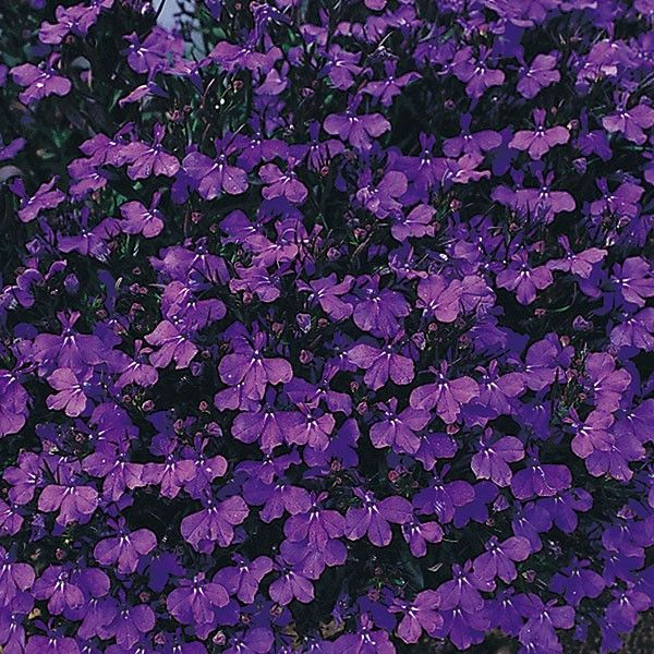 Lobelia Bush Crystal Palace 6 Must Have Plants My Wishlist