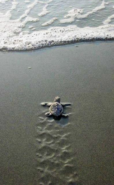 Baby sea turtle almost there! image via Celebrating Life on Facebook at www.facebook.com/CelebratingLifeNow
