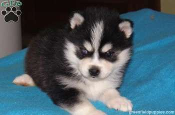 Sophie Pomsky Puppy For Sale In Dundee Oh Puppies Pomsky