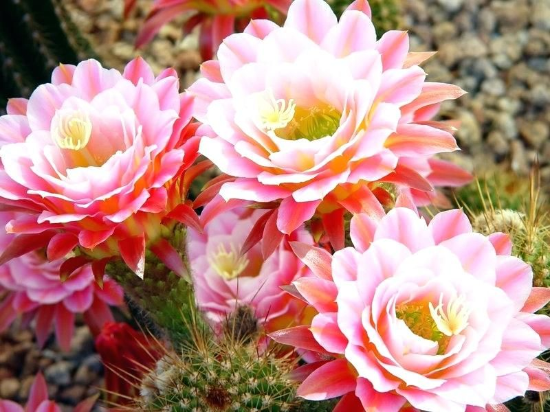 Cactus Flower Varieties You Can Also Grow Plant Meaning Urdu Pretty Flower Garden Plants Cactus Flower Blooming Cactus