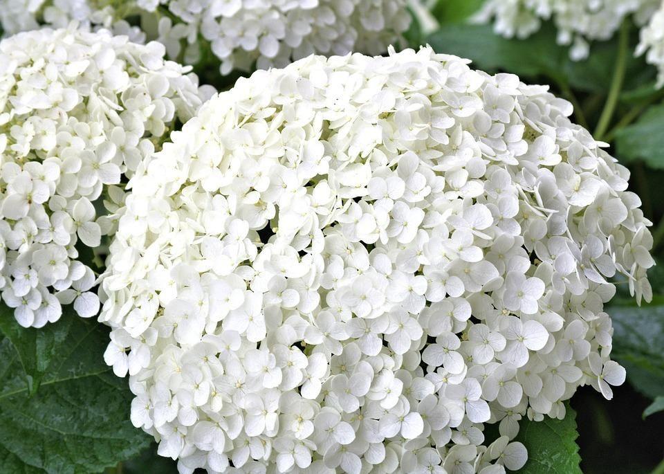 Todo sobre el cuidado de las maravillosas hortensias - Cuidado de las hortensias ...
