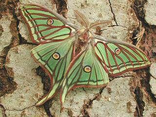 Spanish Luna Moth Graellsia Isabellae Graells 1849 Thanks For All These Creatures Chelsea Coogler Schone Schmetterlinge Insekten Motte