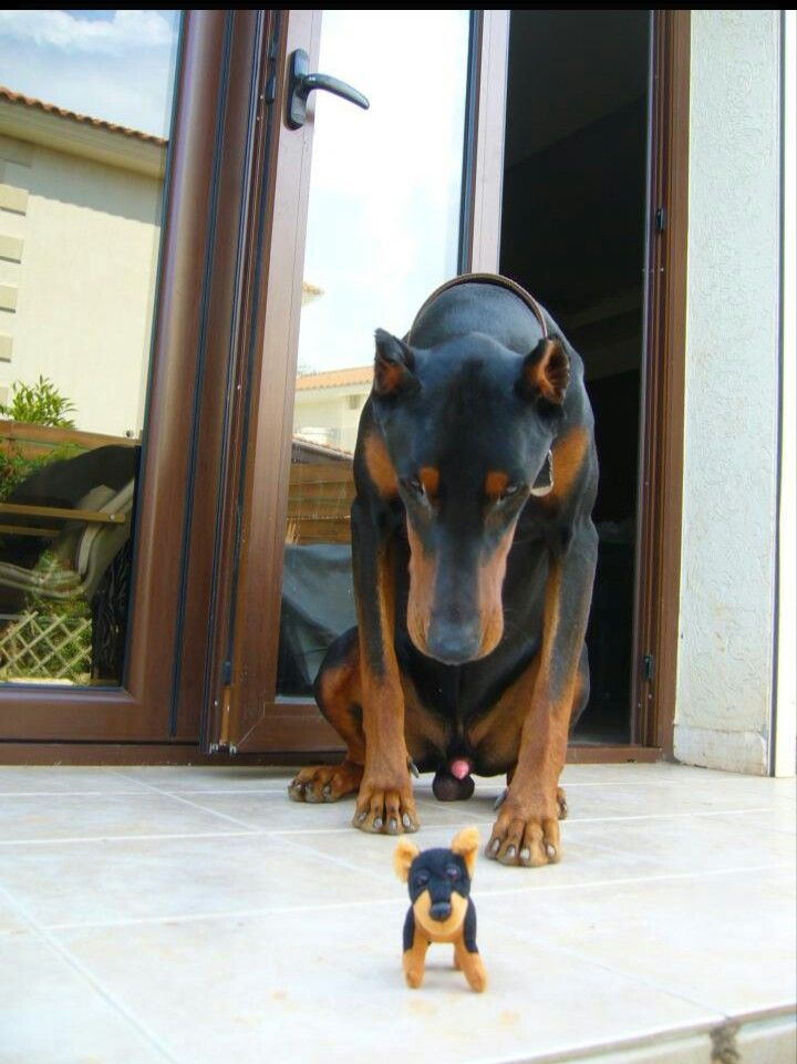 Pin By Carol Bennett On Dobermans With Images Dogs Doberman