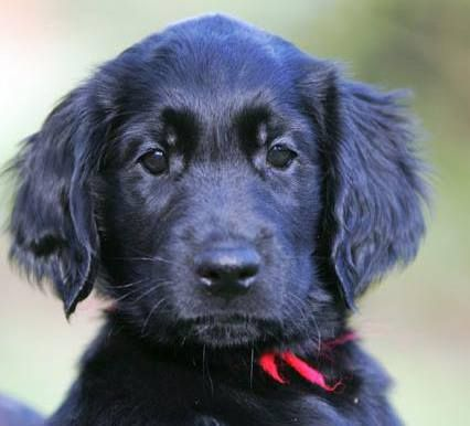Finn Flatcoat Retriever Puppy What A Face Hundewelpen Hunde Welpen Welpen
