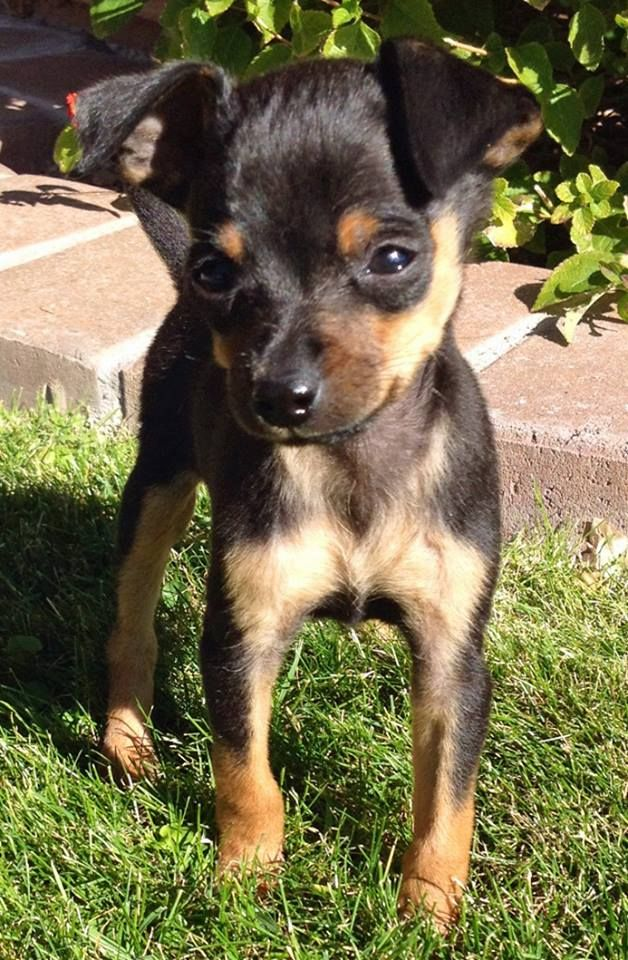 Chumlee The Chihuahua Mix Is A Little Ball Of Fun Chihuahua
