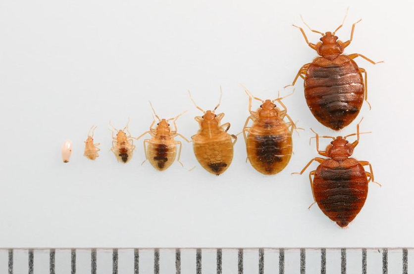 bed bugs identification Bed bugs, Bed bug bites, Signs