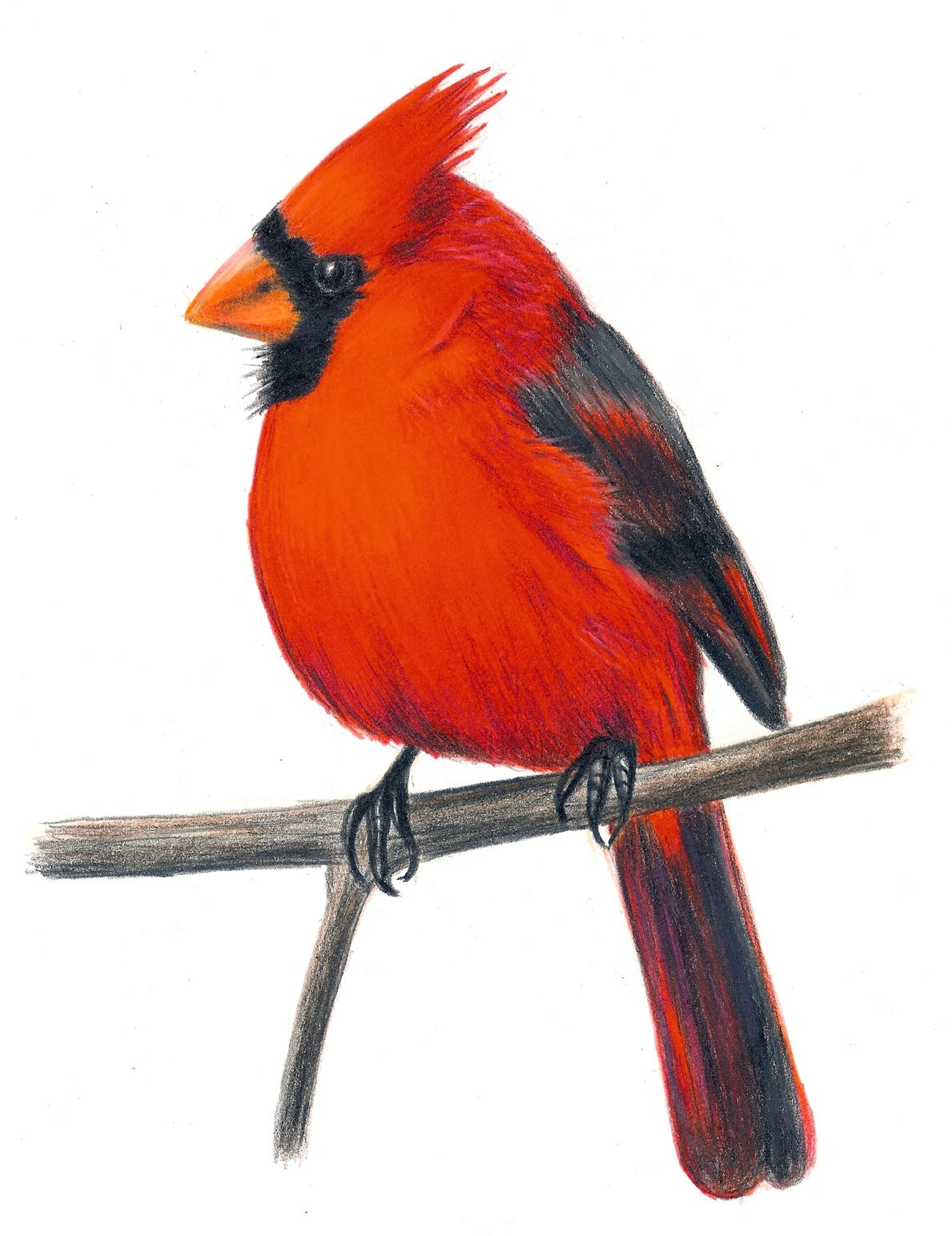 cardinal art cardinal clip art pictures for childrens book the rh pinterest com cardinal clipart black and white cardinal clipart images
