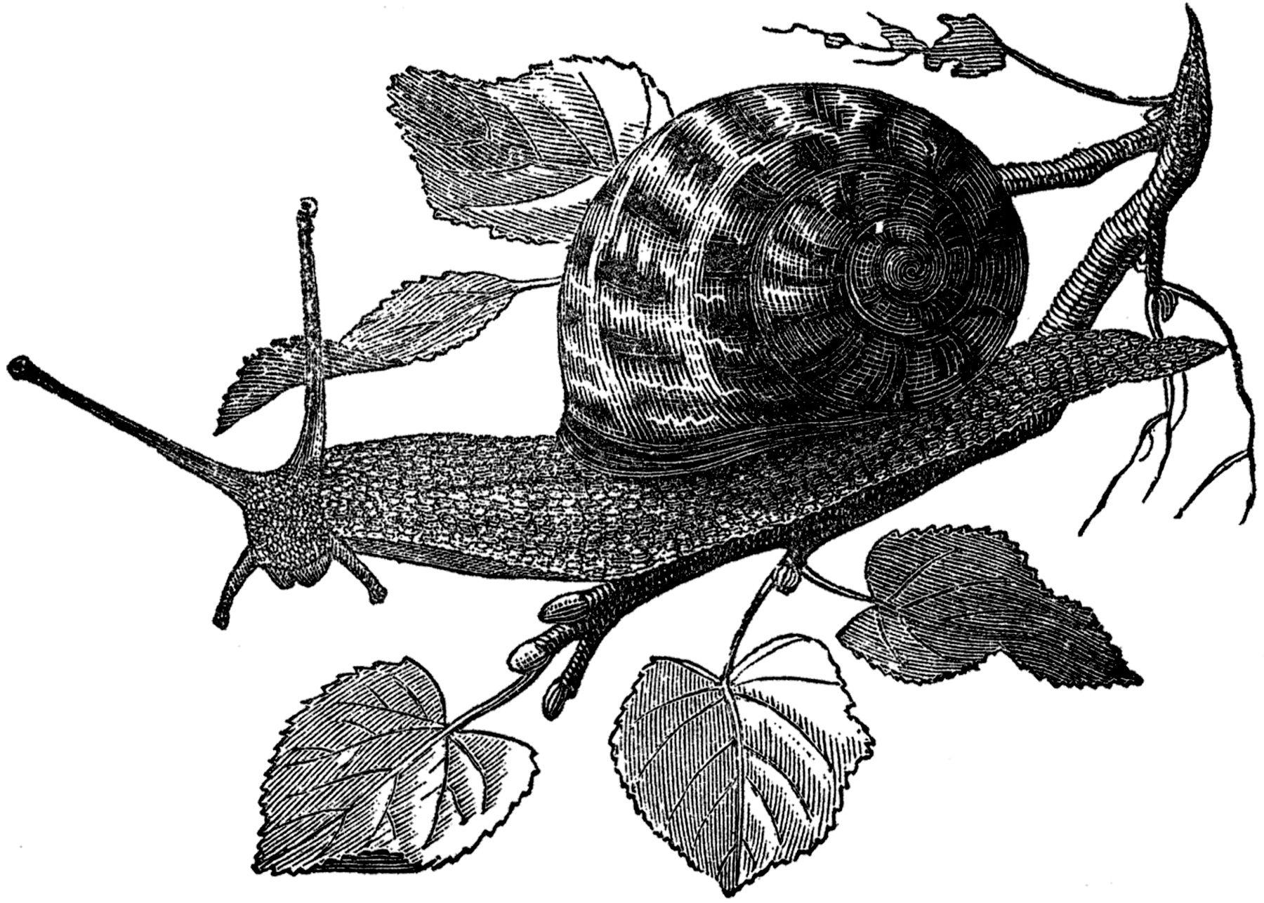 Free Public Domain Snail Images - The Graphics Fairy