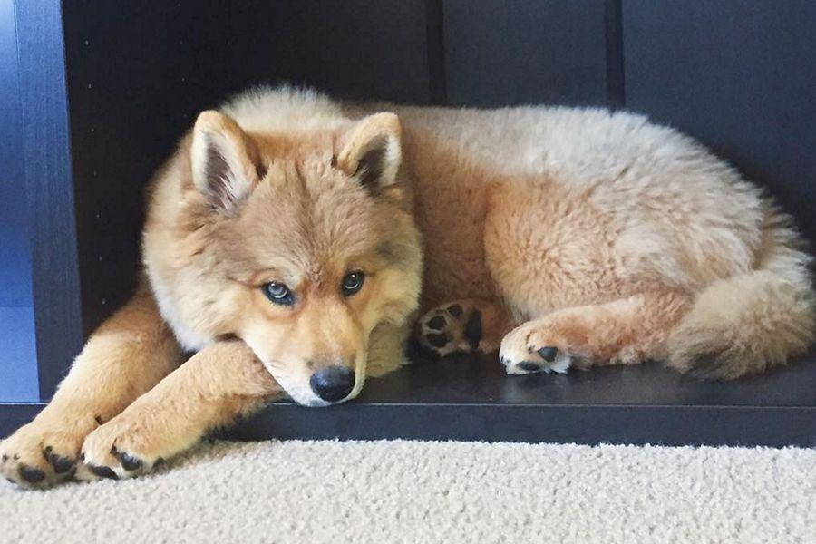 The Top 15 Freakishly Cute Designer Dogs Chowski Puppies Puppy