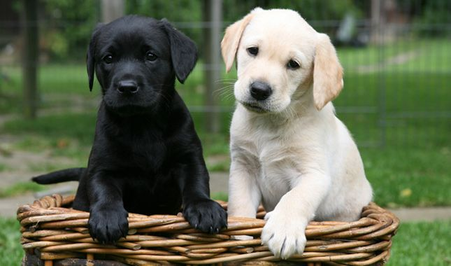 The Labrador Retriever Has Consistently Ranked As The Most Popular Purebred Dog In The United States For M Dog Breeds Labrador Retriever Labrador Retriever Dog