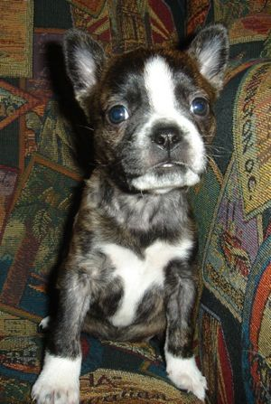 Mixed Breed Pics 10 Boston Terrier Puppy Pitbull Mix Puppies Puppy Dog Pictures