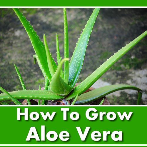 How To Grow Aloe Vera Very Easy To Grow And Maintain