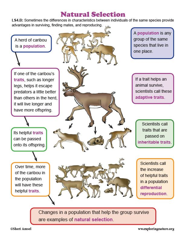 Natural Selection In Caribou Diagram Natural Selection Evolution Activities Biology Lessons