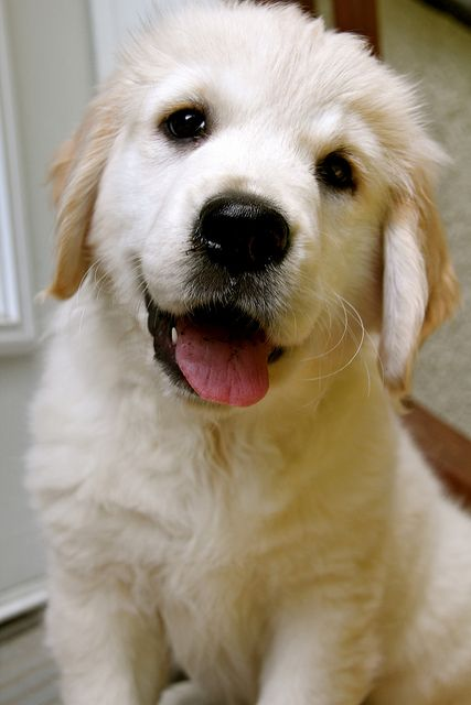 Maggie The Golden Retriever Beautiful Dog Breeds Puppies Most