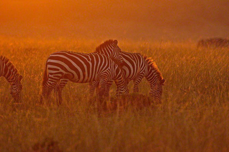 Zebras grazing in the evening Sun @ Masai Mara, Kenya