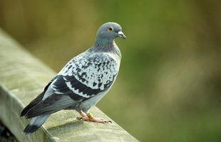 Pigeons Are Common In Urban Areas Where Food Is Plentiful Pigeon Repellent Get Rid Of Pigeons Dog Houses