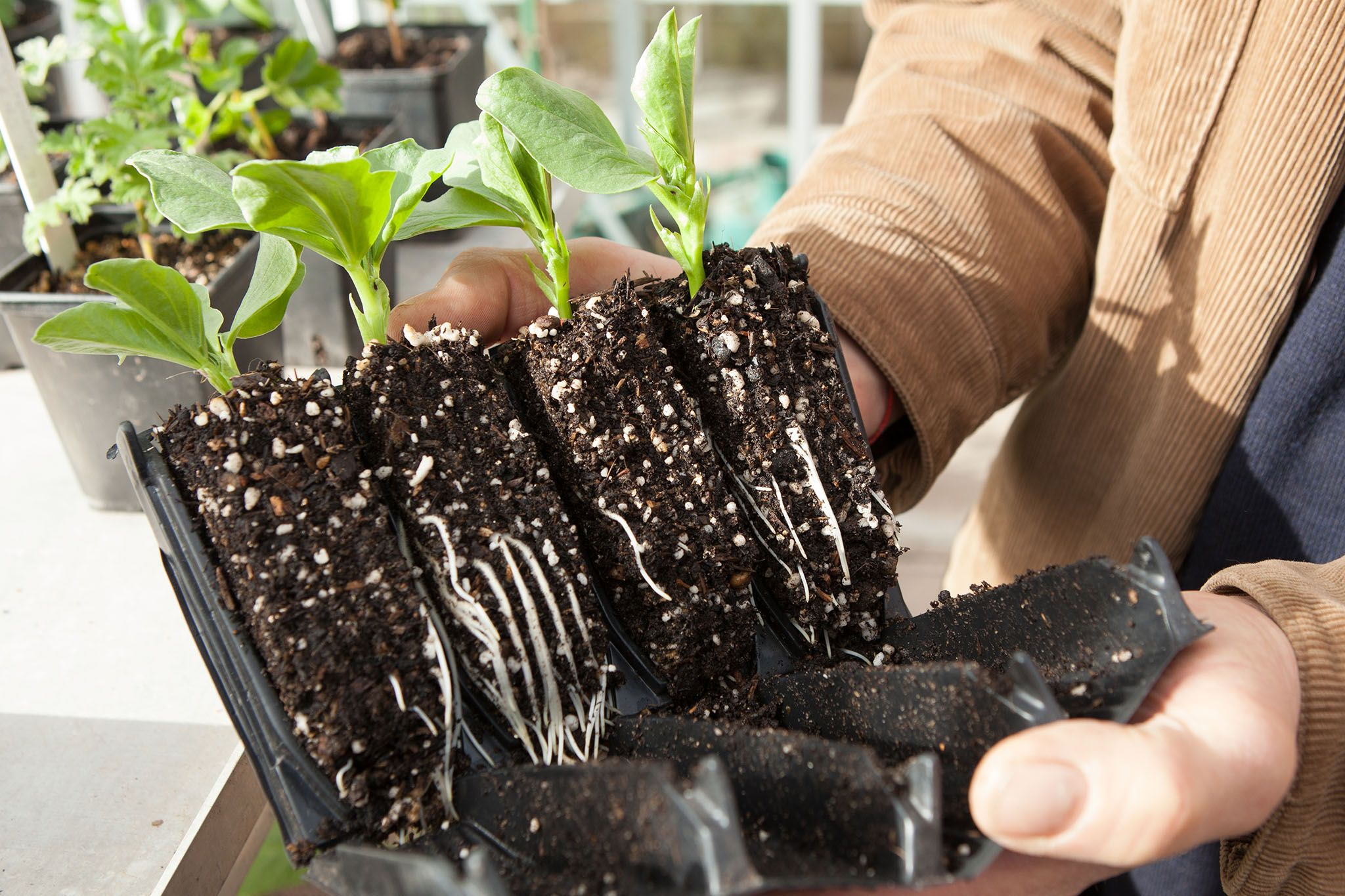 How To Sow Broad Beans Indoors Broad Beans Growing 400 x 300