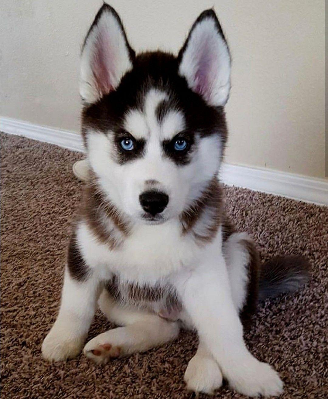 Siberianhusky Husky Hund Hunde Husky Welpen