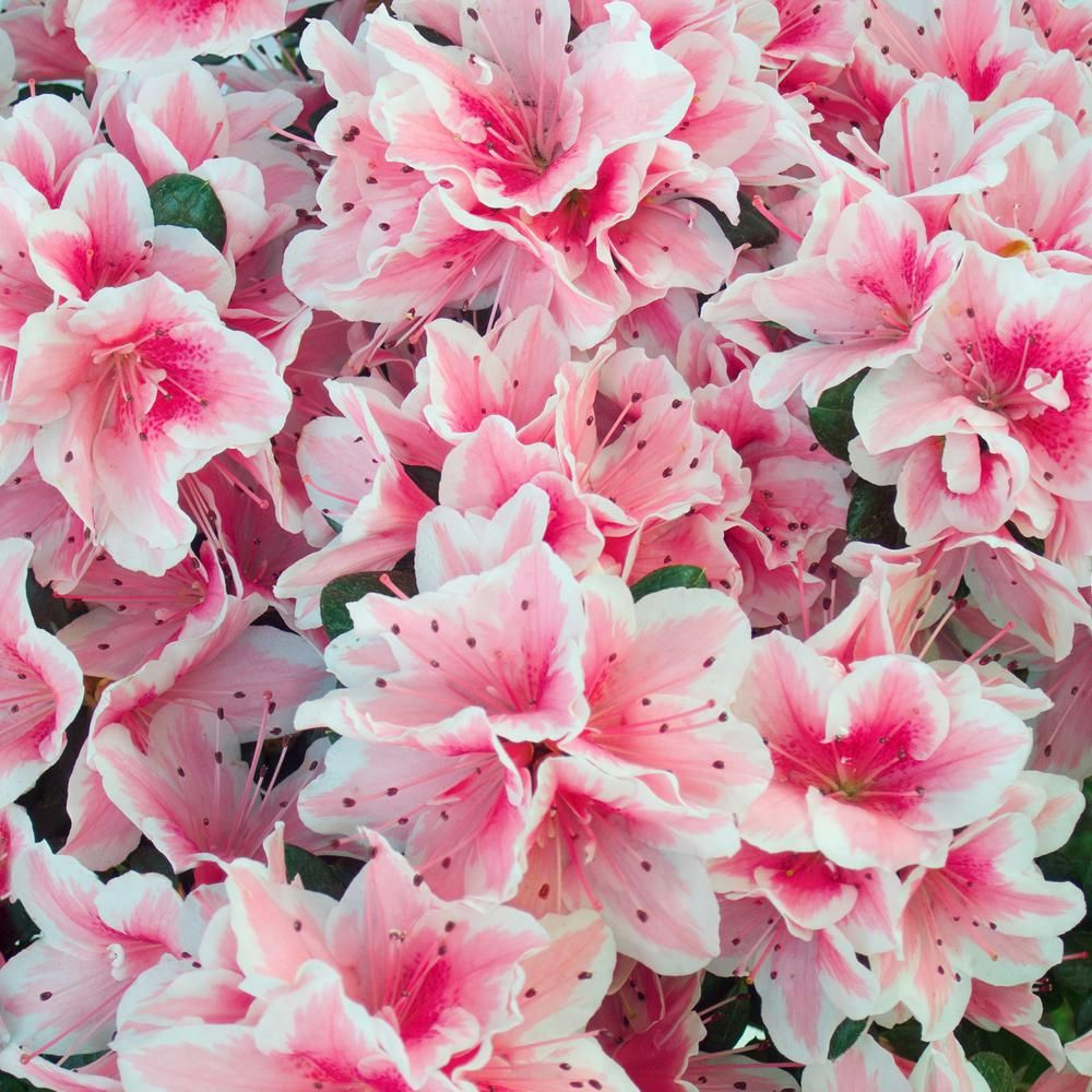Conversation Piece' stands out with a profusion of multi-colored, trumpet-shaped blossoms that emerge in masses in both Spring and fall. Its unusual flowers feature a range of colors from dark pink to white with each blossom opening to reveal a unique pattern. 'Conversation Piece' grows in a low, mounding habit, making it an excellent choice for containers, mass plantings, shrub borders, and low hedges. It thrives in hot, humid climates, resists pests and disease, and attracts pollinators such a