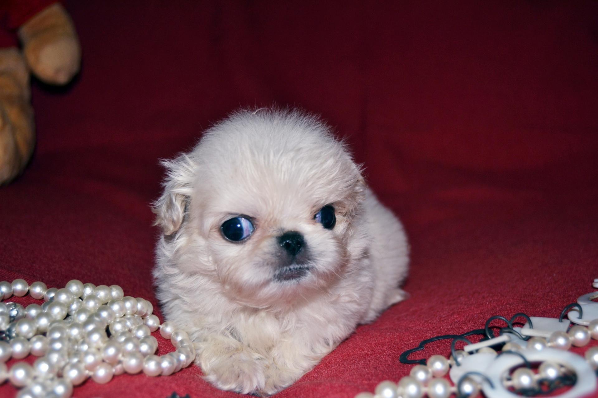 Big eyes de gallumar pekingese puppies
