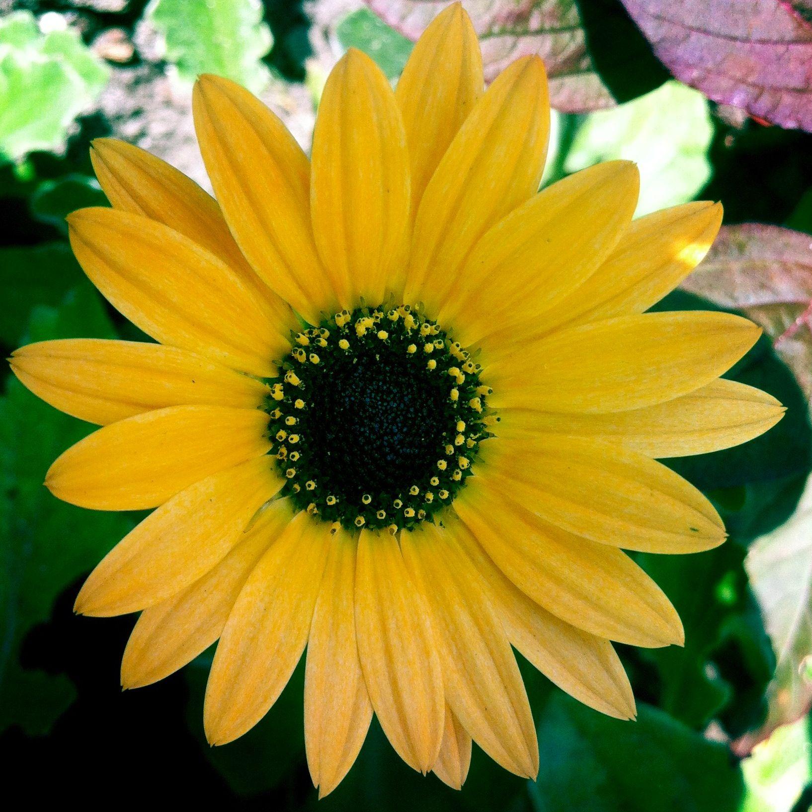 Arctotis Scapigera Beautiful Flowers Pinterest Beautiful Flowers