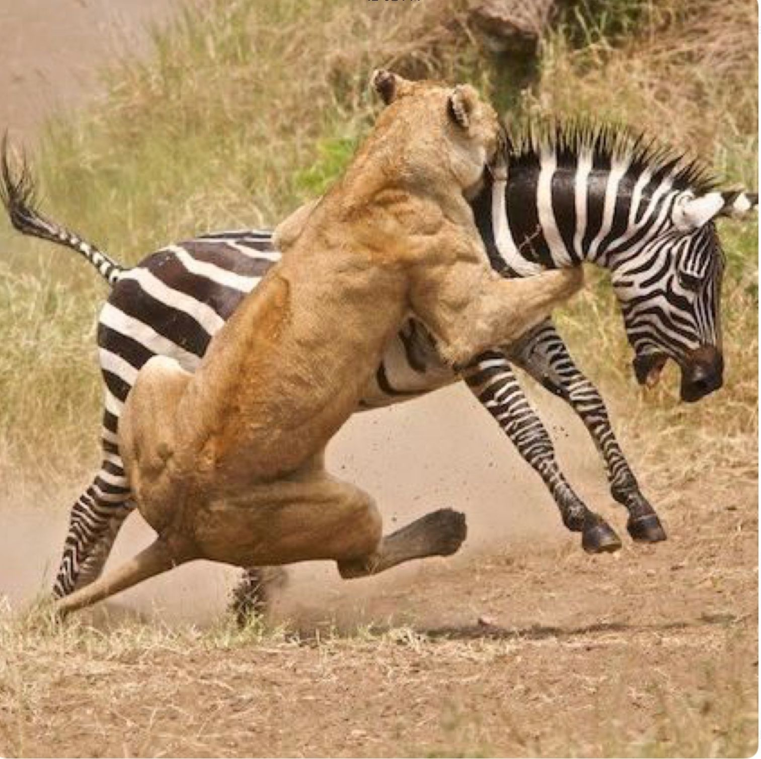 Lioness bringing down a zebra. African animals