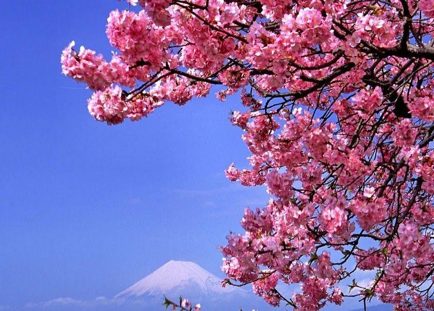 Gambar Bunga Sakura Yang Paling Cantik Dan Gambar Bunga Cantik Untuk Laptop Tuhan Bunga Sakura Khas Jepang Yang Indah W Di 2020 Bunga Sakura Bunga Wallpaper Bunga
