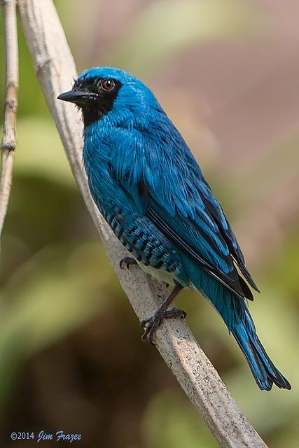Northern Swallow Tanager