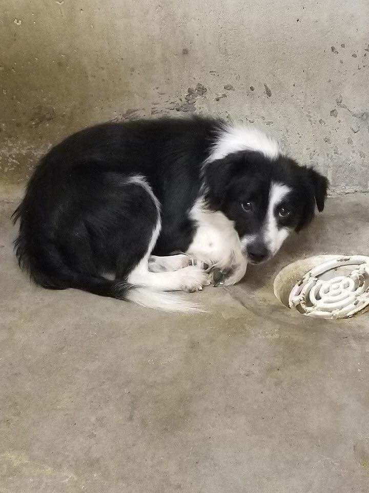 Vizsla dogs for sale texas