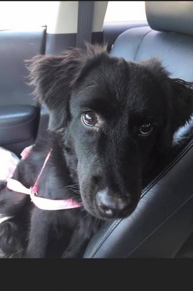 Adopt Solo On Labrador Retriever Retriever Mix Flat Coated Retriever