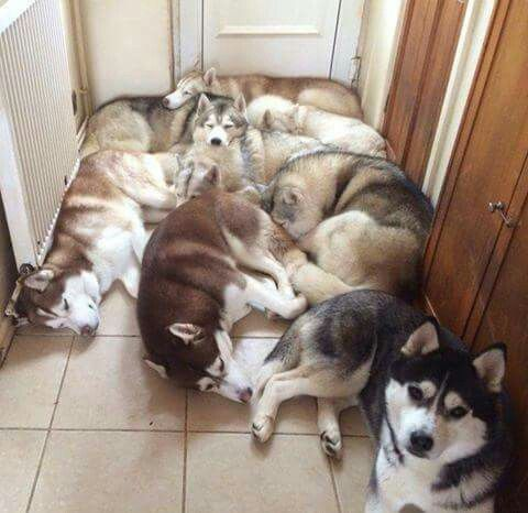 I Love This Pic I Wish My Huskies Could Be In The Same Living