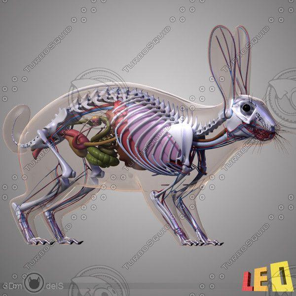 rabbit anatomy 3d model - Rabbit Anatomy... by leo3Dmodels ...