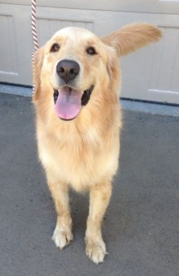 Goldenretrieverpuppiestemecula Golden Retriever Puppies Dogs