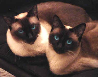 Traditional Siamese Cats Of Our Traditional Siamese And What