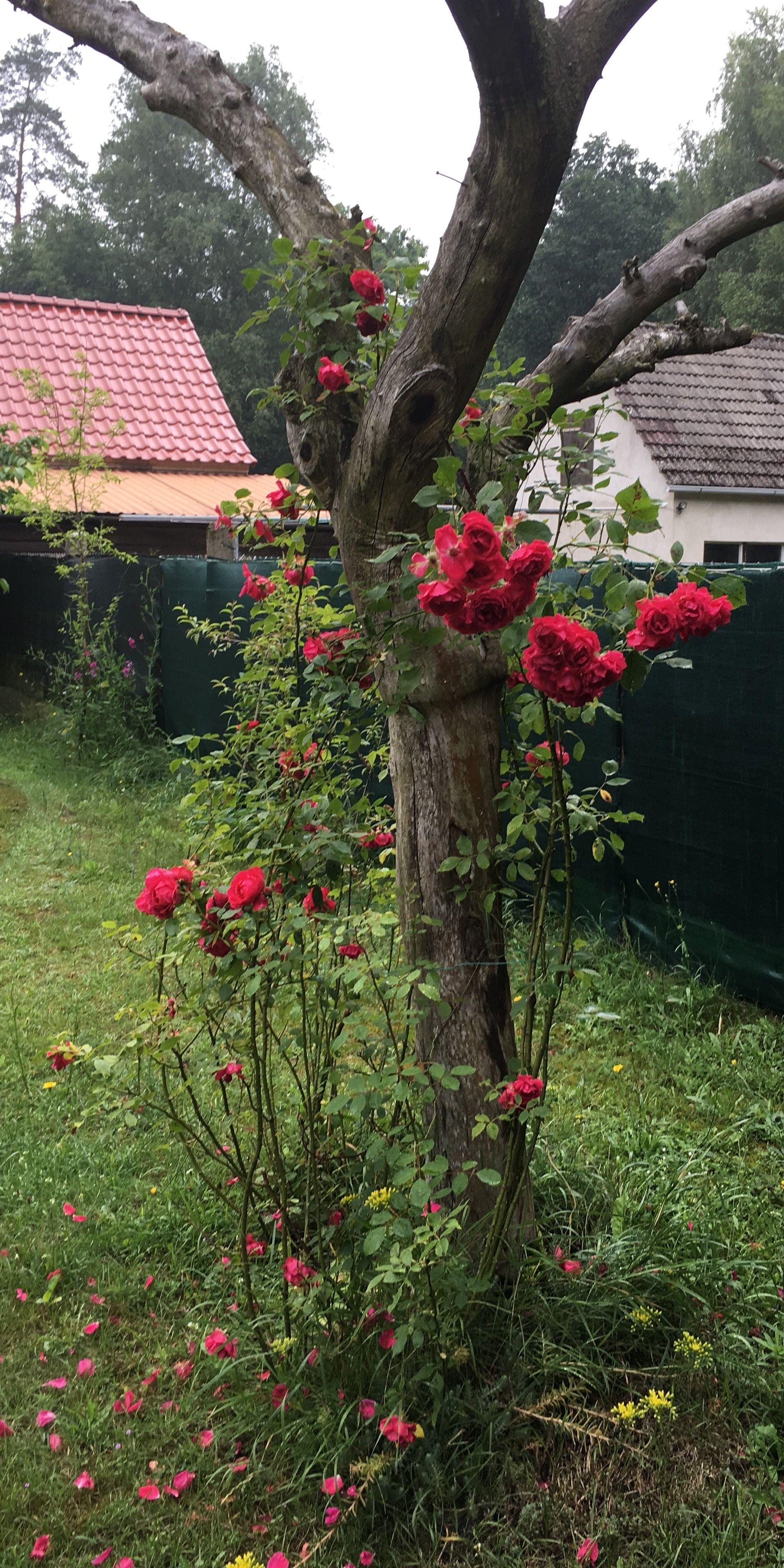 27+ Rosen an wand befestigen Sammlung