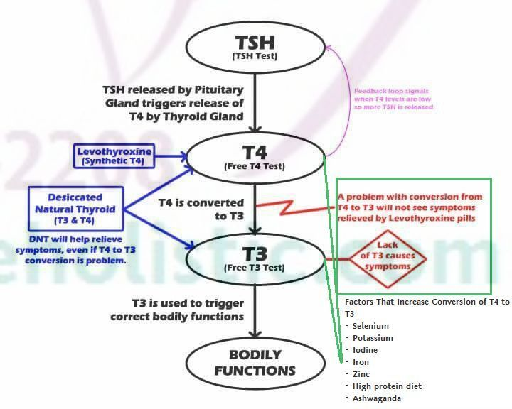 Thyroid Hormones - T4 (Thyroxin) has little physiological ...
