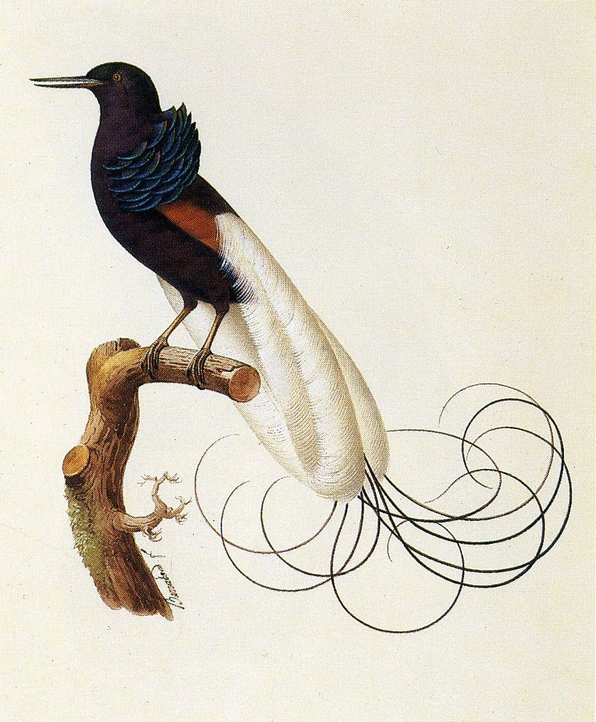 Twelve Wired Bird of Paradise by Jacques Barraband | Representations ...