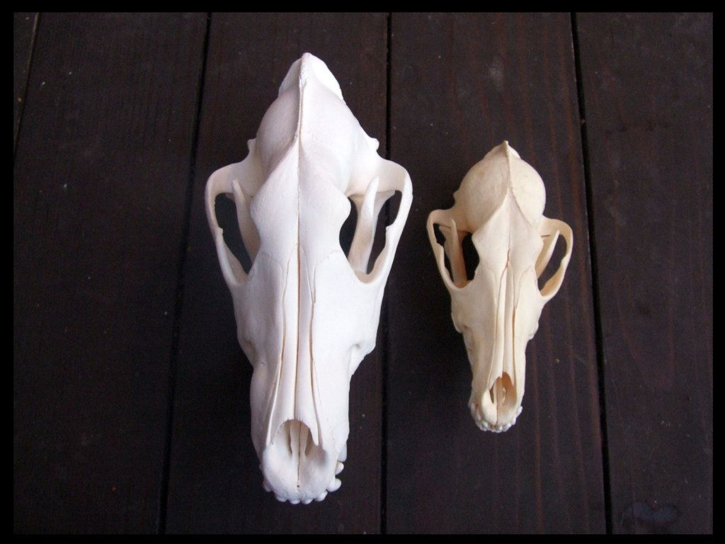 Wolf & Coyote | BONES | Pinterest | Animal skulls and Anatomy