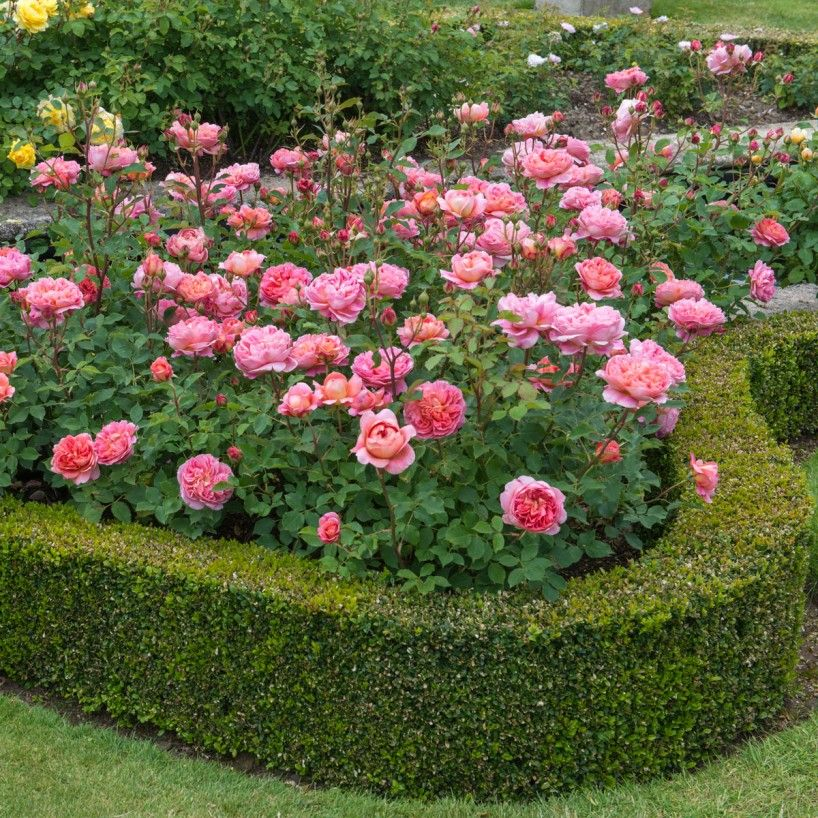 Boscobel english rose bred by david austin dream